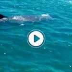 CAP D'AGDE. Un plaisancier croise le chemin d'une baleine au large !